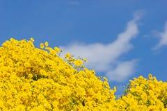 Желтое поле хризантемы стоковое фото