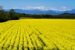 Желтое поле цветка и снег-покрытые горы в предпосылке Стоковое фото RF