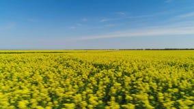 Желтое поле цветка с проходить дорогу r Взгляд сверху зацветая поля мустарда в домене земледелия с проходить видеоматериал