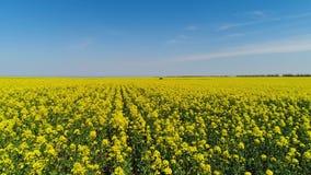 Желтое поле цветка с проходить дорогу r Взгляд сверху зацветая поля мустарда в домене земледелия с проходить сток-видео