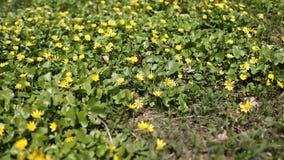 Желтое цветене wildflowers сток-видео