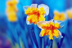 Желтое цветение narcissus Стоковые Изображения
