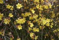 Желтое цветение nudiflorum Jasminum стоковое изображение