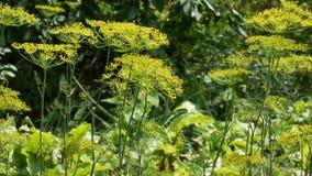 Желтое цветорасположение укропа на летний день в огороде Растущий и зацветая укроп сток-видео