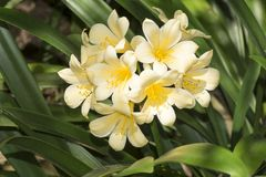 Желтое цветя Clivia Стоковые Фото