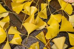 Желтое biloba гинкго выходит лежать на влажную землю стоковая фотография