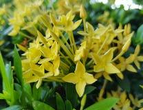 Желтое Ixora Стоковая Фотография