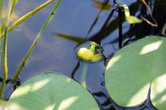 Желтое lutea Nuphar вод-лилии Стоковые Фотографии RF