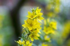 Желтое punctata lysimachia в цветени, красивом цветя диком растении стоковое фото