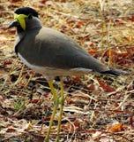 Желтое-wattled malabaricus Vanellus lapwing Как другие lapwings и ржанки, они земные птицы стоковое изображение