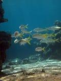 желтопёр goatfish Стоковое Изображение