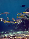 желтопёр goatfish Стоковые Фото