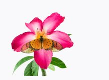 Желтые бабочки и розовые цветки стоковая фотография rf