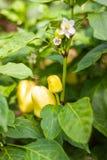 Желтые болгарские перцы растя в саде anl органическом стоковое изображение