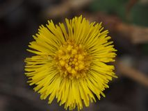Желтые бутоны цветков мать-и-мачеха первая весна цветков Стоковые Фотографии RF