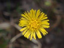 Желтые бутоны цветков мать-и-мачеха первая весна цветков Стоковое фото RF