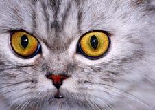 Желтые глаза Стоковое Изображение