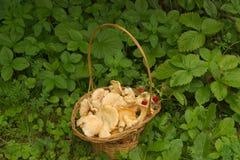 Желтые грибы в плетеной корзине Стоковая Фотография