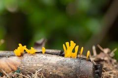 Желтые грибы на имени пользователя сезон дождей Стоковое Фото