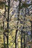 Желтые деревья клена в осени стоковое фото