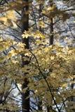 Желтые деревья клена в осени стоковая фотография rf