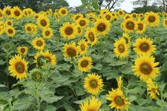 Желтые зацветая солнцецветы на предпосылке, Таиланде Стоковые Фото