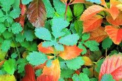 Желтые, зеленые, красные листья осени в росе Стоковое Изображение
