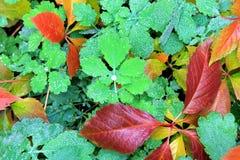 Желтые, зеленые, красные листья осени в росе Стоковое фото RF