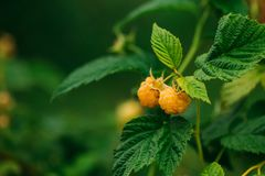 Желтые золотые поленики Растущий органический крупный план ягод зрело стоковые фотографии rf
