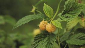 Желтые или золотые поленики Растущий органический крупный план ягод Зрелая поленика в саде плодоовощ Панорама, панорамный взгляд сток-видео