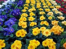 Желтые и голубые цветки в баке Стоковое Изображение