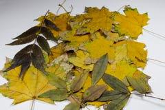 Желтые и зеленые лист Стоковое Изображение