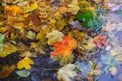 Желтые и красные кленовые листы в лужице под дождем Стоковые Фото