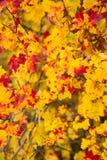 Желтые и красные кленовые листы осени Стоковые Изображения RF