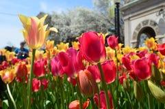 Желтые и красные тюльпаны на фестивале времени тюльпана в Голландии Мичигане Стоковая Фотография