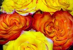Желтые и оранжевые розы Loseup ¡ Ð, макрос Стоковое фото RF
