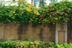 Желтые и оранжевые цветки бугинвилии на стене стоковое фото