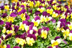 желтые и пурпурные цветки безшовные стоковое фото rf