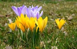 Желтые и фиолетовые крокусы весны Стоковое фото RF