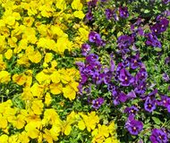 Желтые и фиолетовые pansies, цветник, стоковые изображения rf