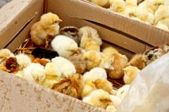 Желтые и черные маленькие цыплята бройлера со спуском на теле сидят во взгляде сверху конца-вверх картонной коробки newborn цыпле стоковое изображение