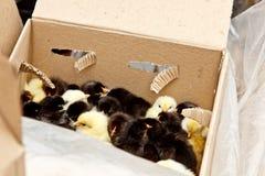 Желтые и черные маленькие цыплята бройлера со спуском на теле сидят во взгляде сверху конца-вверх картонной коробки newborn цыпле стоковая фотография rf