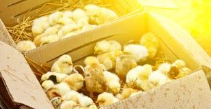 Желтые и черные маленькие цыплята бройлера со спуском на теле сидят во взгляде сверху конца-вверх картонной коробки newborn цыпле стоковое фото rf