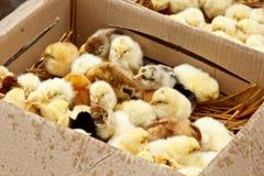 Желтые и черные маленькие цыплята бройлера со спуском на теле сидят во взгляде сверху конца-вверх картонной коробки newborn цыпле стоковое фото