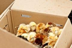 Желтые и черные маленькие цыплята бройлера со спуском на теле сидят во взгляде сверху конца-вверх картонной коробки newborn цыпле стоковые фото