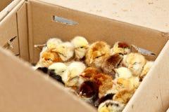 Желтые и черные маленькие цыплята бройлера со спуском на теле сидят во взгляде сверху конца-вверх картонной коробки newborn цыпле стоковые изображения rf