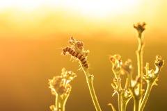 Желтые и черные striped гусеницы киновари подавая во время su Стоковая Фотография
