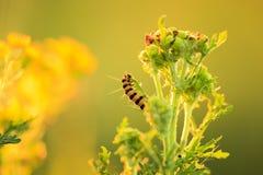 Желтые и черные striped гусеницы киновари подавая во время su Стоковые Фотографии RF