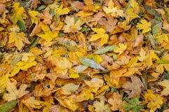 Желтые кленовые листы на солнечный день осени стоковые фото