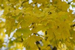 Желтые кленовые листы осени стоковое фото rf